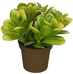 Zimostráz v květníku 13cm 56613/YELGR
